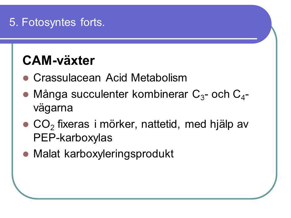 5. Fotosyntes forts. CAM-växter  Crassulacean Acid Metabolism  Många succulenter kombinerar C 3 - och C 4 - vägarna  CO 2 fixeras i mörker, natteti