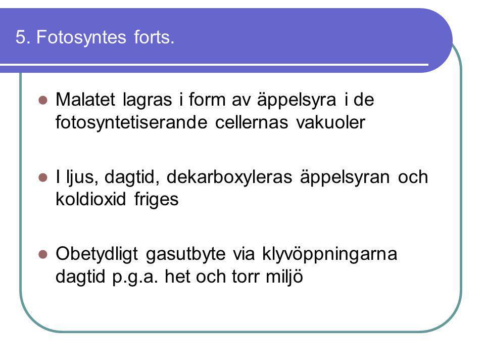5. Fotosyntes forts.  Malatet lagras i form av äppelsyra i de fotosyntetiserande cellernas vakuoler  I ljus, dagtid, dekarboxyleras äppelsyran och k