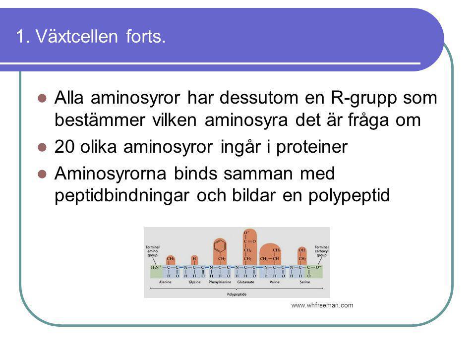 1. Växtcellen forts.  Alla aminosyror har dessutom en R-grupp som bestämmer vilken aminosyra det är fråga om  20 olika aminosyror ingår i proteiner