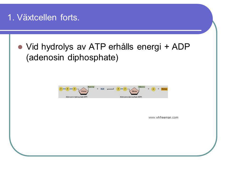 1. Växtcellen forts.  Vid hydrolys av ATP erhålls energi + ADP (adenosin diphosphate) Växtcellens uppbyggnad forts. www.whfreeman.com