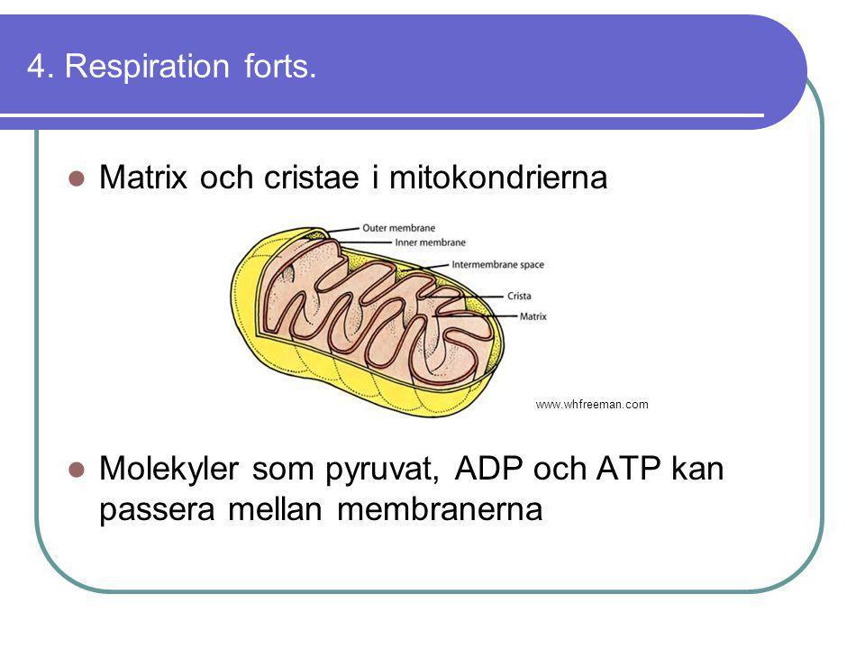 4. Respiration forts.  Matrix och cristae i mitokondrierna  Molekyler som pyruvat, ADP och ATP kan passera mellan membranerna www.whfreeman.com