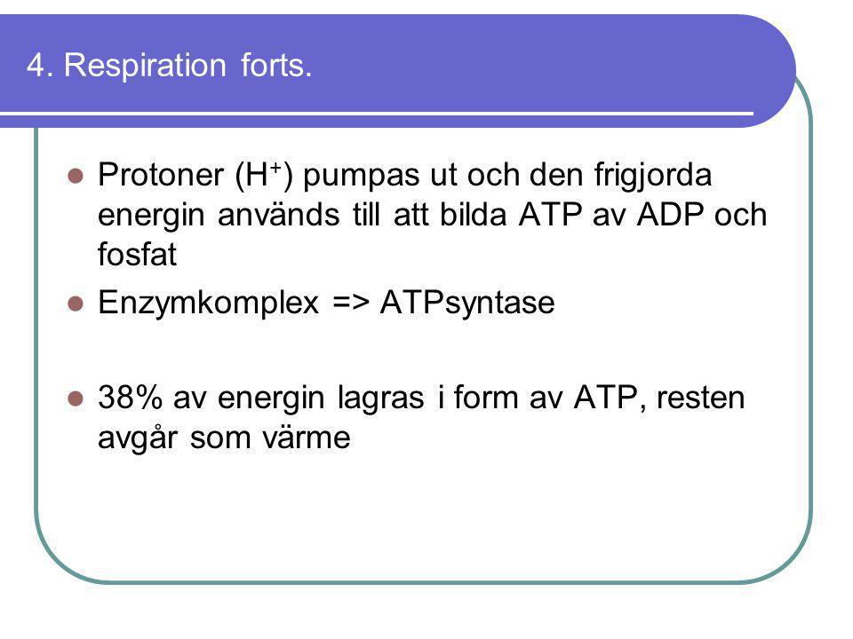 4. Respiration forts.  Protoner (H + ) pumpas ut och den frigjorda energin används till att bilda ATP av ADP och fosfat  Enzymkomplex => ATPsyntase