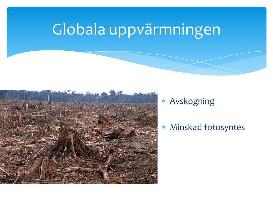 Globala uppvärmningen  Avskogning  Minskad fotosyntes