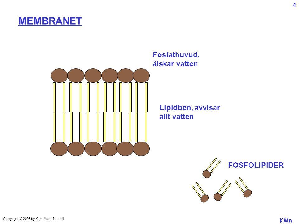 MEMBRANET Fosfathuvud, älskar vatten Lipidben, avvisar allt vatten FOSFOLIPIDER KMn Copyright © 2008 by Kajs-Marie Nordell 4