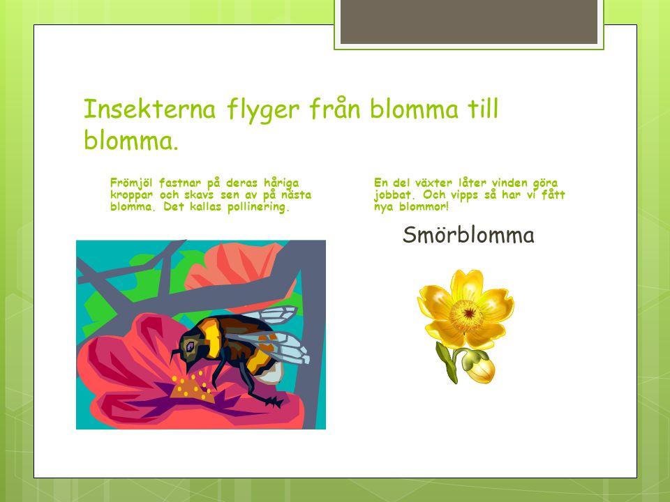Insekterna flyger från blomma till blomma. Frömjöl fastnar på deras håriga kroppar och skavs sen av på nästa blomma. Det kallas pollinering. En del vä