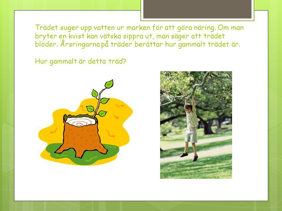 Trädet suger upp vatten ur marken för att göra näring. Om man bryter en kvist kan vätska sippra ut, man säger att trädet blöder. Årsringarna på träder