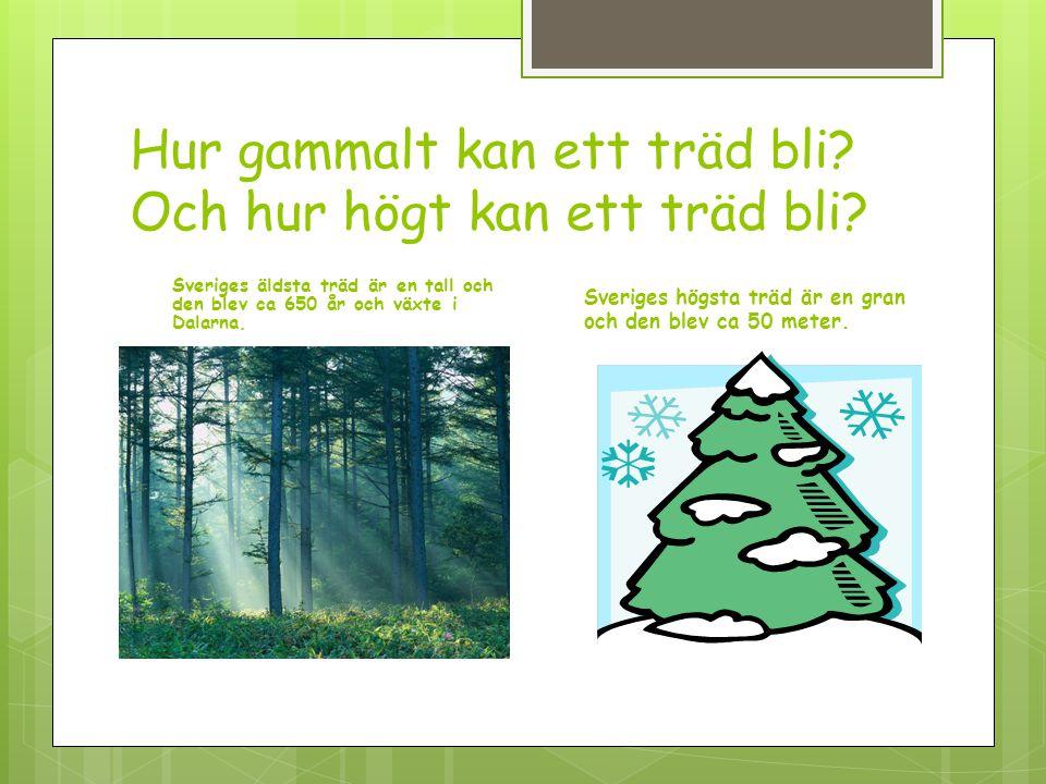 Hur gammalt kan ett träd bli? Och hur högt kan ett träd bli? Sveriges äldsta träd är en tall och den blev ca 650 år och växte i Dalarna. Sveriges högs