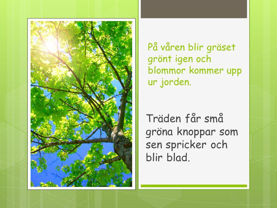 På våren blir gräset grönt igen och blommor kommer upp ur jorden. Träden får små gröna knoppar som sen spricker och blir blad.