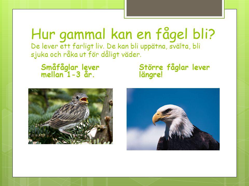 Hur gammal kan en fågel bli? De lever ett farligt liv. De kan bli uppätna, svälta, bli sjuka och råka ut för dåligt väder. Småfåglar lever mellan 1-3
