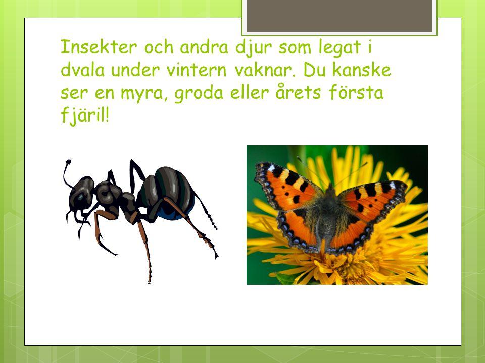 Insekter och andra djur som legat i dvala under vintern vaknar. Du kanske ser en myra, groda eller årets första fjäril!