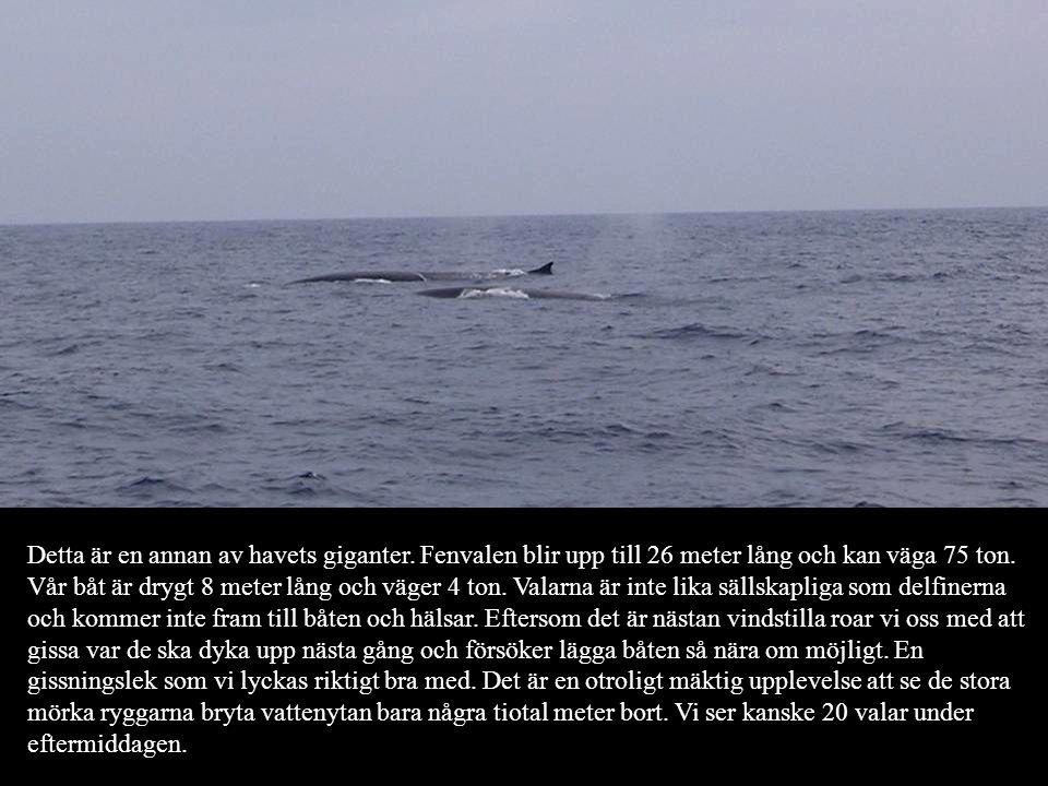 Detta är en annan av havets giganter. Fenvalen blir upp till 26 meter lång och kan väga 75 ton. Vår båt är drygt 8 meter lång och väger 4 ton. Valarna