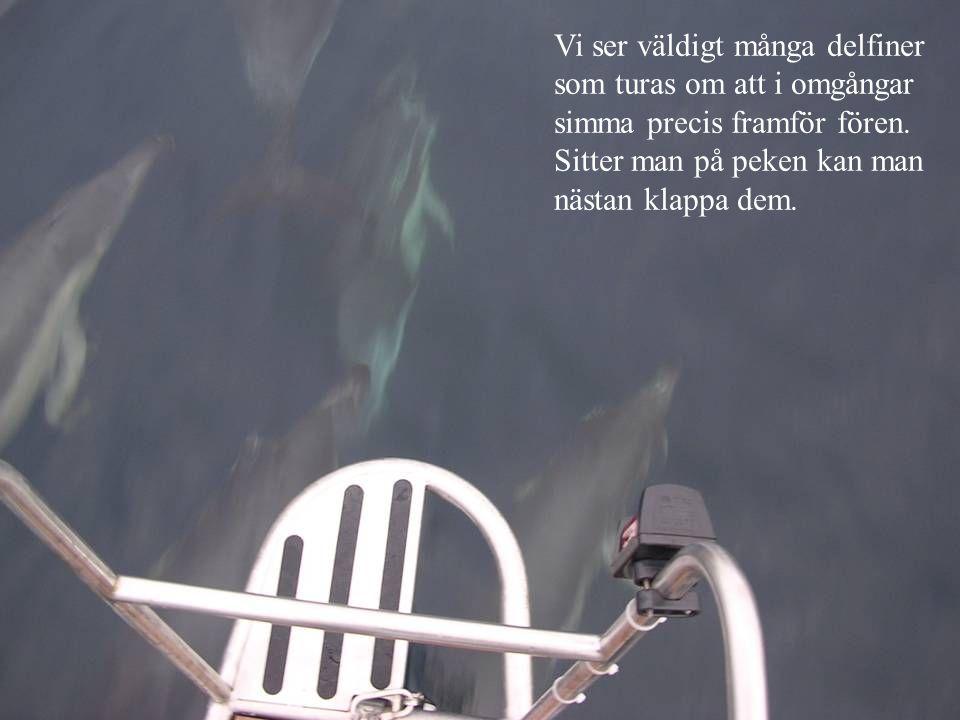 Vi ser väldigt många delfiner som turas om att i omgångar simma precis framför fören. Sitter man på peken kan man nästan klappa dem.