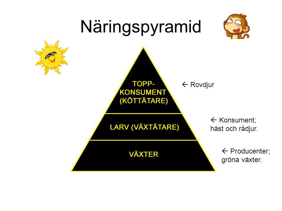 Näringspyramid  Rovdjur  Konsument; häst och rådjur.  Producenter; gröna växter.