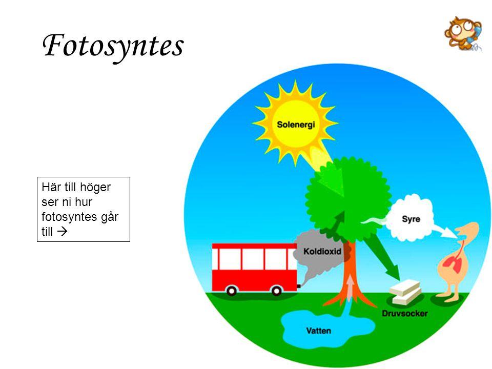 Fotosyntes Här till höger ser ni hur fotosyntes går till 