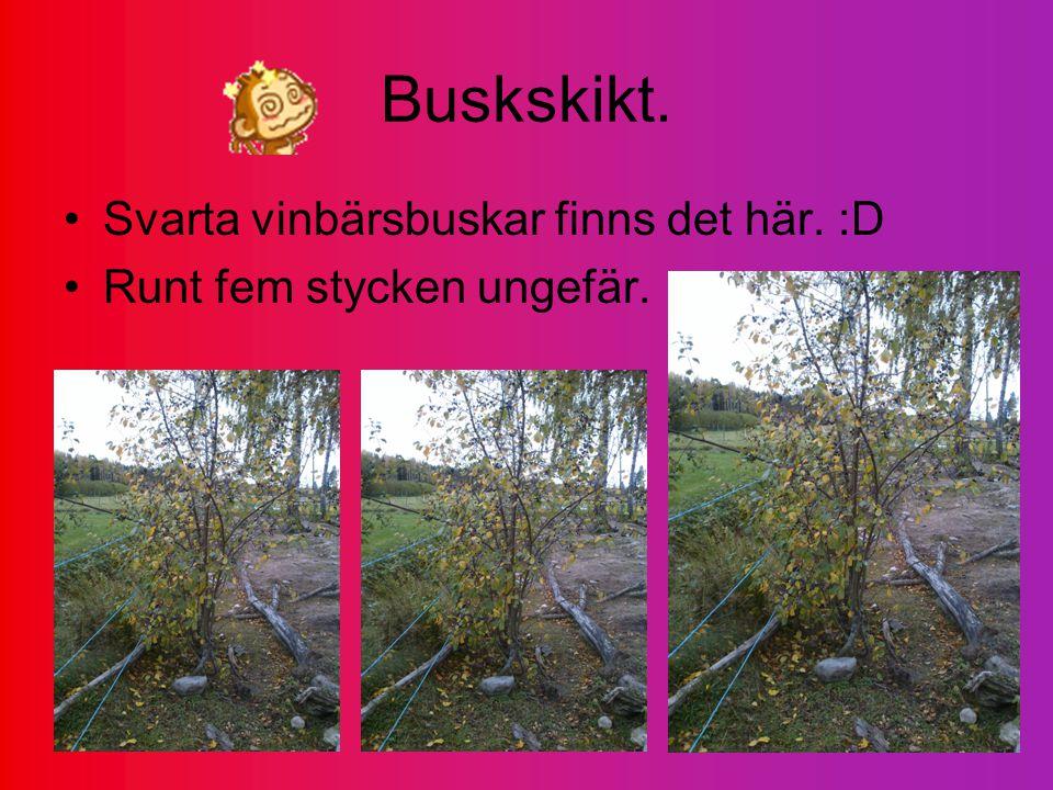 Buskskikt. Svarta vinbärsbuskar finns det här. :D Runt fem stycken ungefär.
