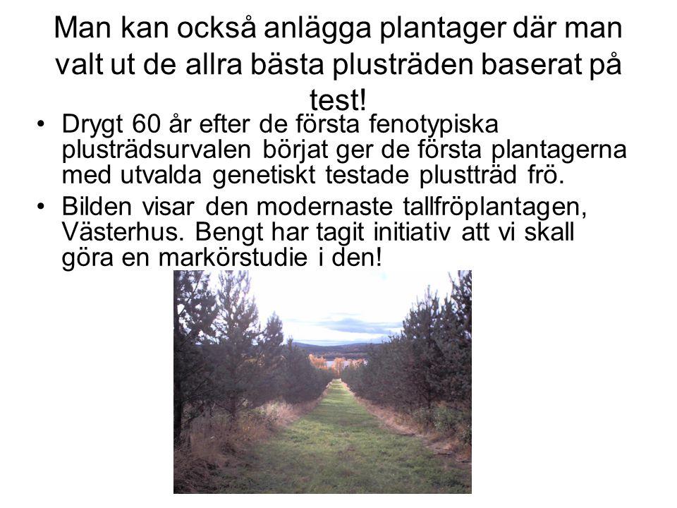 Man kan också anlägga plantager där man valt ut de allra bästa plusträden baserat på test! Drygt 60 år efter de första fenotypiska plusträdsurvalen bö