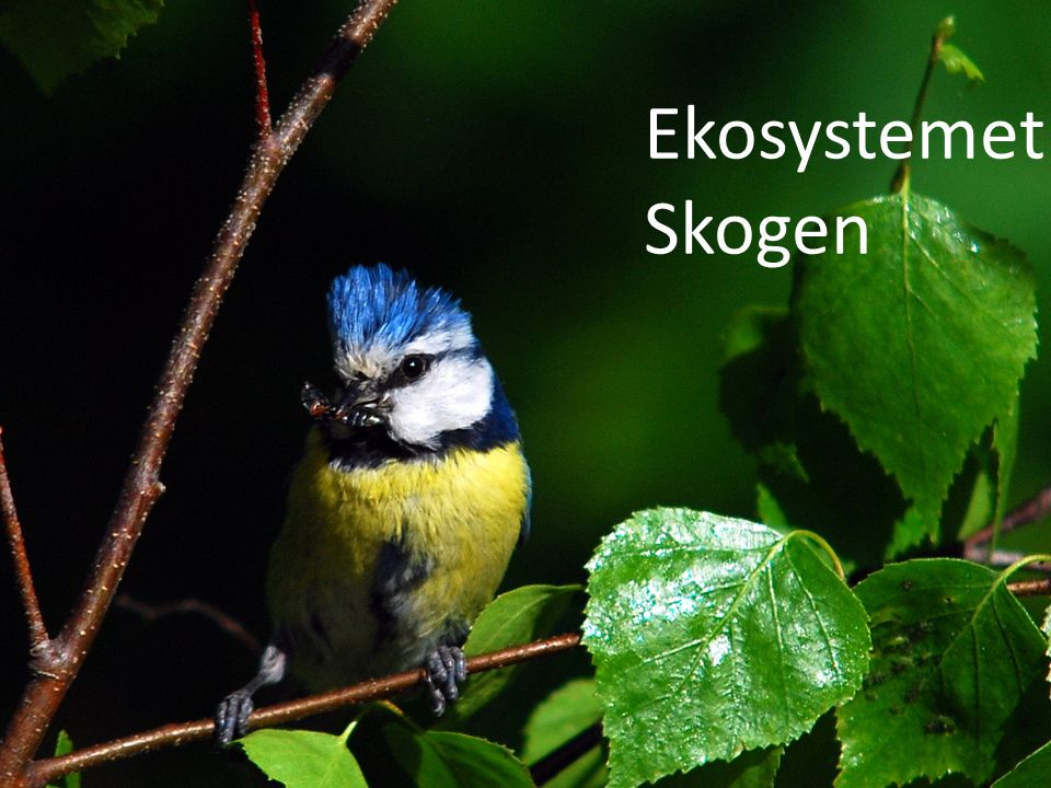 Ekosystem Ekosystemet: Skogen