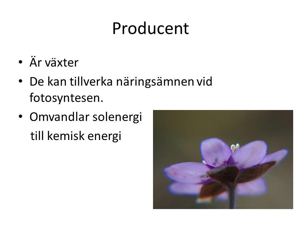 Producent Är växter De kan tillverka näringsämnen vid fotosyntesen. Omvandlar solenergi till kemisk energi