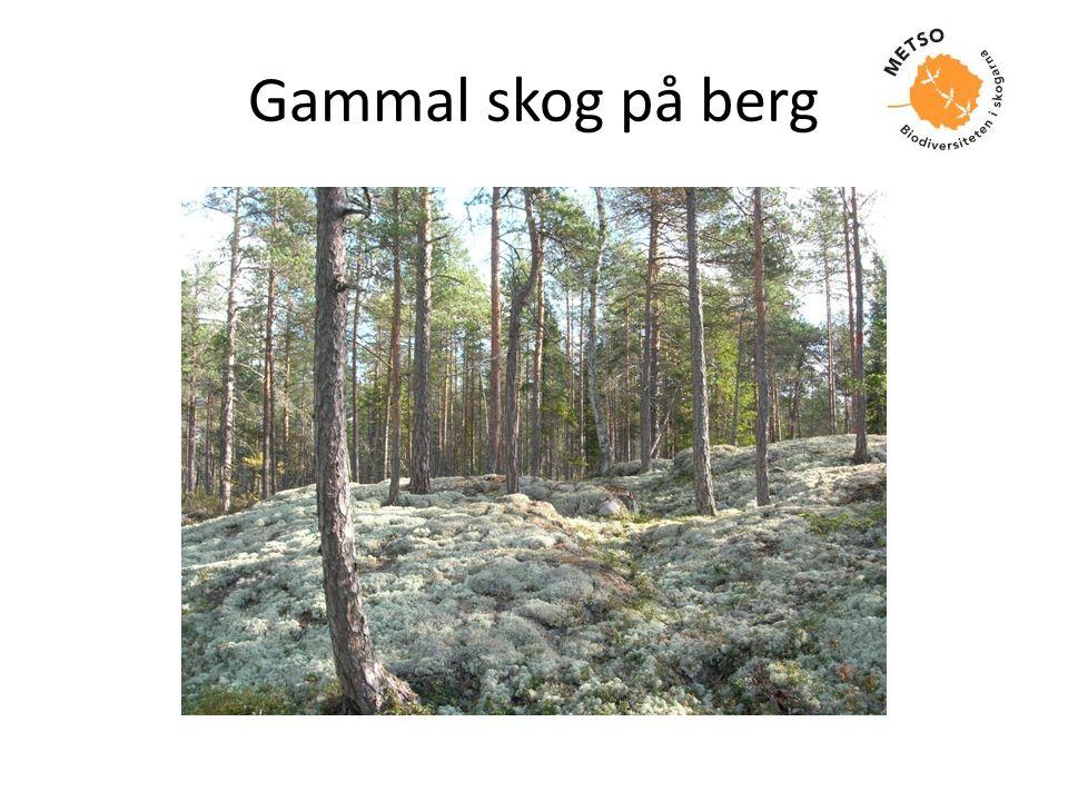 Gammal skog på berg