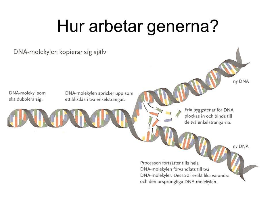 Hur arbetar generna? HGP, Human Genome Project var klara med kartläggningen av människans arvsmassa år 2000. DNA-molekylen kopierar sig själv. På så s