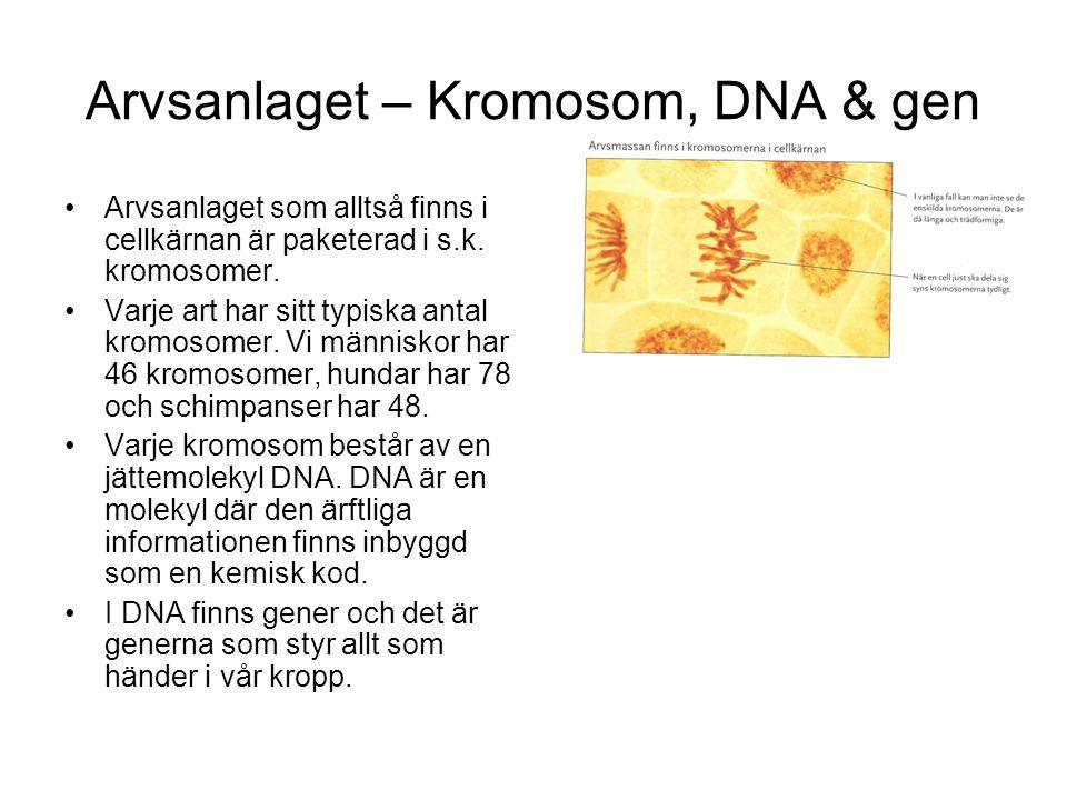 Arvsanlaget – Kromosom, DNA & gen Arvsanlaget som alltså finns i cellkärnan är paketerad i s.k. kromosomer. Varje art har sitt typiska antal kromosome