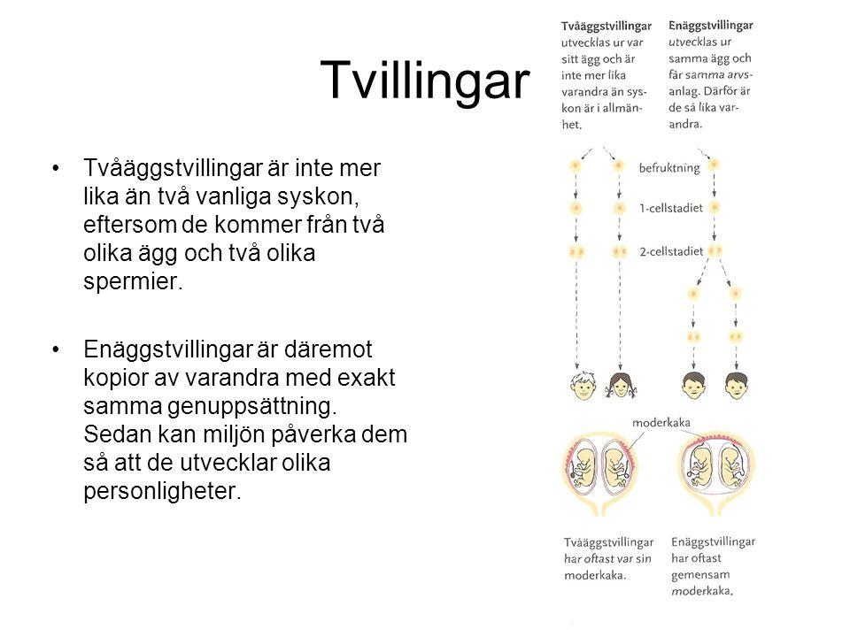 Tvillingar Tvåäggstvillingar är inte mer lika än två vanliga syskon, eftersom de kommer från två olika ägg och två olika spermier. Enäggstvillingar är