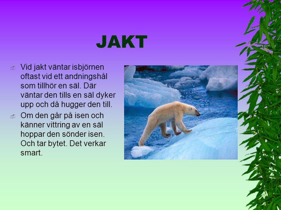 FÖDA  Isbjörnen är en köttätare och äter huvudsakligen sälar. Den äter också döda valar, döda valrossar, fågelägg och växter.  Om det är ont om föda