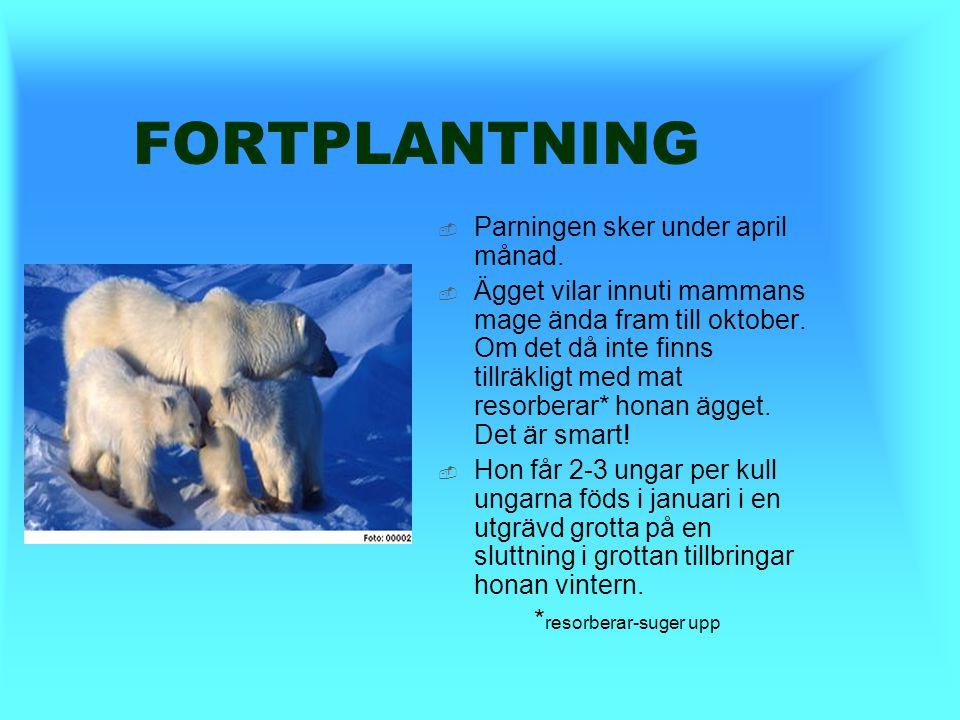 JAKT  Vid jakt väntar isbjörnen oftast vid ett andningshål som tillhör en säl. Där väntar den tills en säl dyker upp och då hugger den till.  Om den