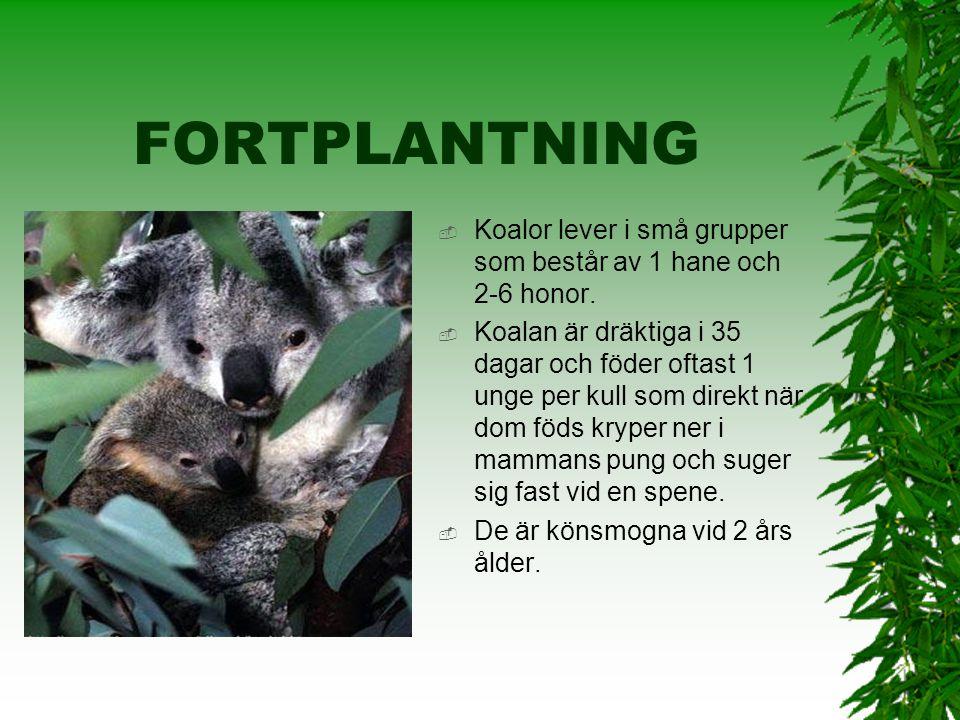 KOALAN  Koalan lever i eukalyptus- skogarna i södra Australien. Det är 28-30 grader där. Stora delar av Australiens yta är täckt av öken. De har stor