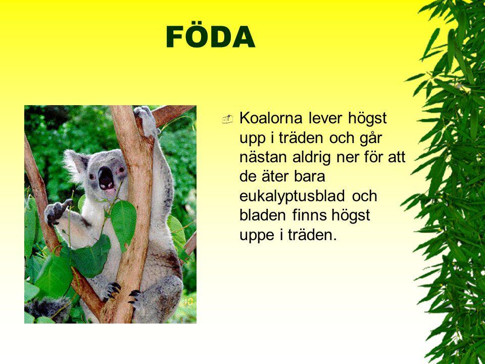 KÄNNETECKEN  Koalan har tät ullig päls som är grå på ovansidan och vitaktig på undersidan. Den har liten svans, stort huvud med stora runda öron och