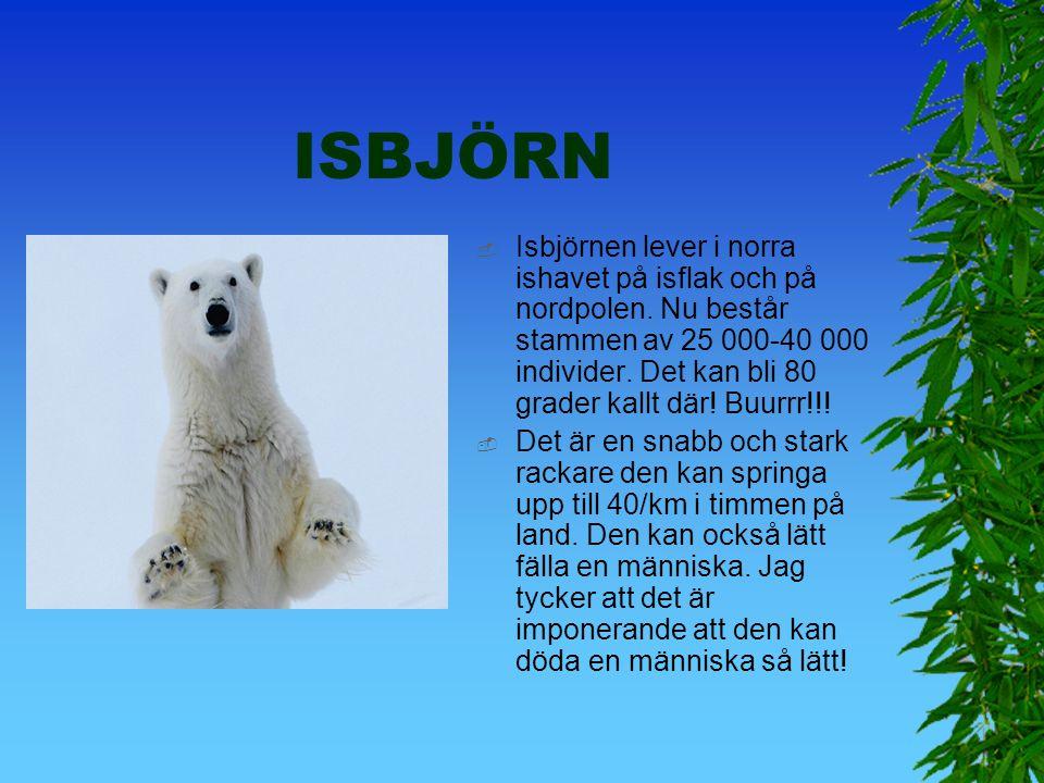 Jämförelse med isbjörnen  Koalan lever av växter och isbjörnen lever av kött och späck.  Koalans medelålder är 13-18 år men isbjörnen kan bli 20-30