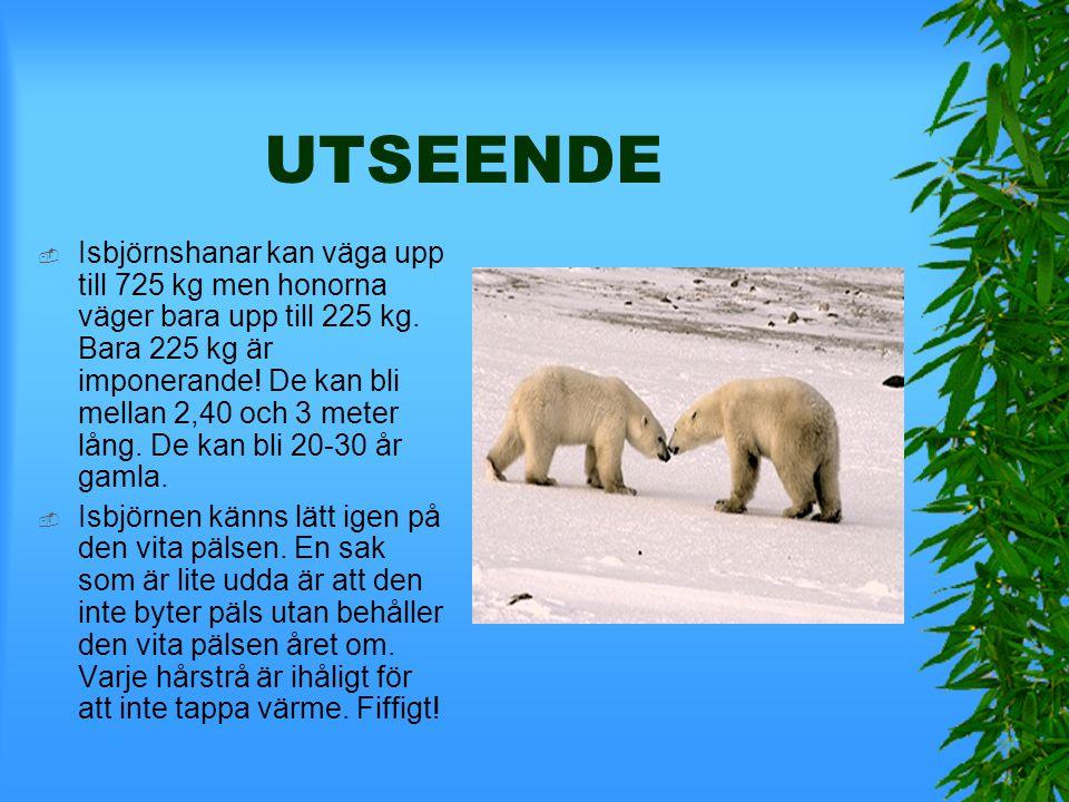 ISBJÖRN  Isbjörnen lever i norra ishavet på isflak och på nordpolen. Nu består stammen av 25 000-40 000 individer. Det kan bli 80 grader kallt där! B