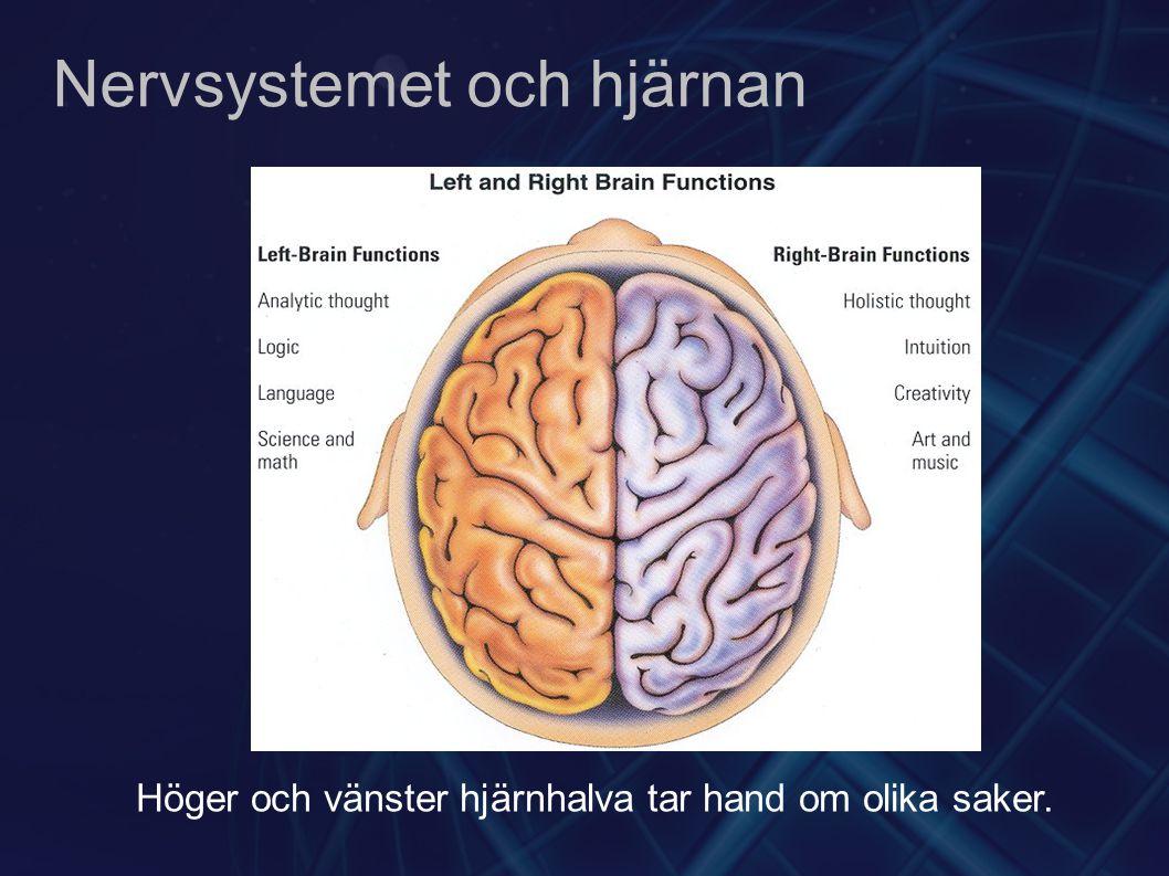 Nervsystemet och hjärnan Höger och vänster hjärnhalva tar hand om olika saker.