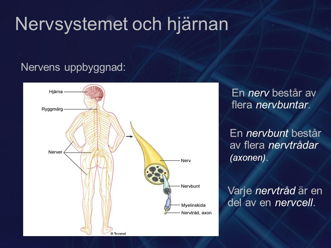 Nervsystemet och hjärnan Nervens uppbyggnad: En nerv består av flera nervbuntar. En nervbunt består av flera nervtrådar (axonen). Varje nervtråd är en