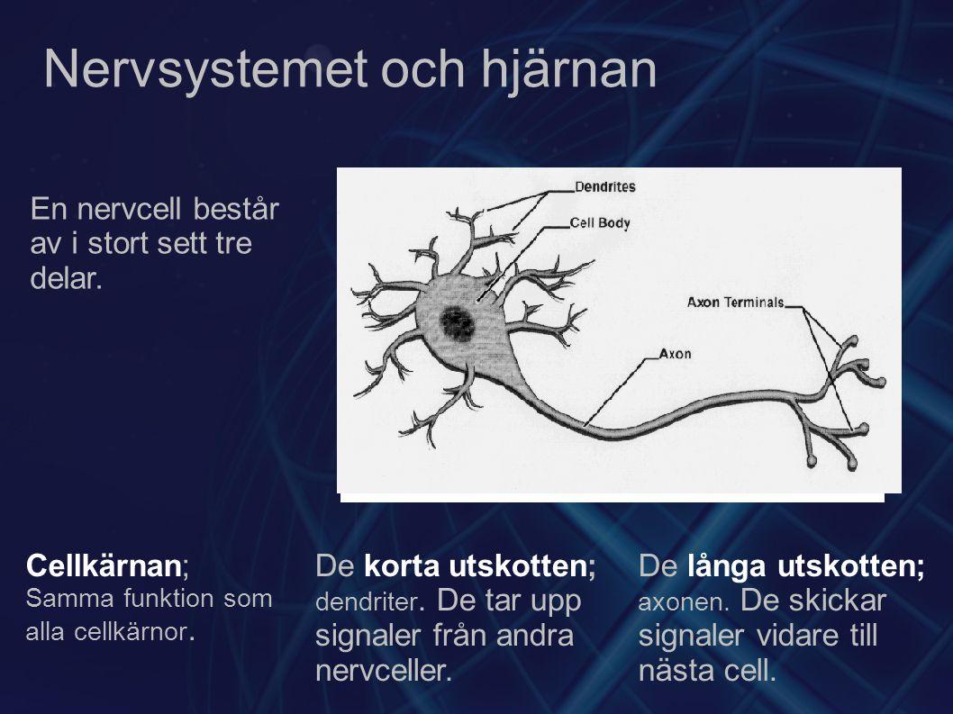 Nervsystemet och hjärnan Cellkärnan; Samma funktion som alla cellkärnor. De korta utskotten; dendriter. De tar upp signaler från andra nervceller. De