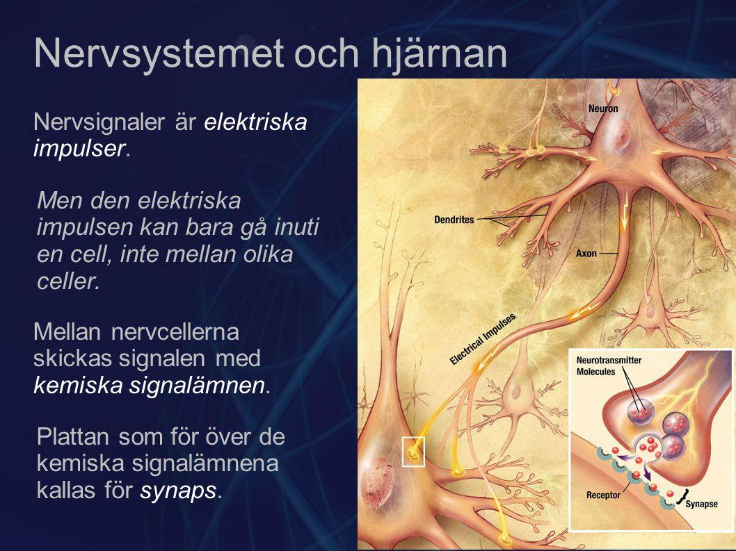 Nervsystemet och hjärnan Nervsignaler är elektriska impulser. Men den elektriska impulsen kan bara gå inuti en cell, inte mellan olika celler. Mellan