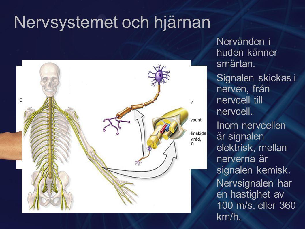 Nervsystemet och hjärnan Nervänden i huden känner smärtan. Signalen skickas i nerven, från nervcell till nervcell. Inom nervcellen är signalen elektri
