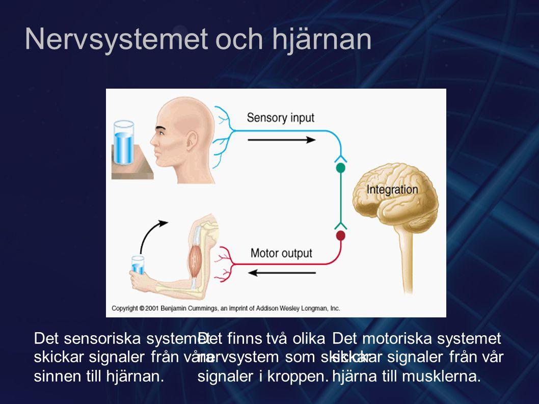 Nervsystemet och hjärnan Det finns två olika nervsystem som skickar signaler i kroppen. Det sensoriska systemet skickar signaler från våra sinnen till