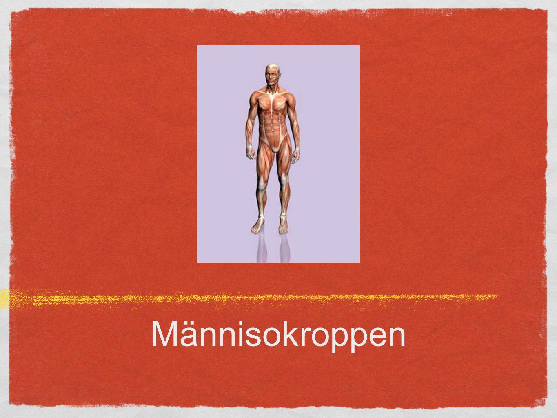 Musklerna Ca 600 muskler 40-45% av den totala kroppsvikten Möjliggör rörelse Viljestyrda: skelettmuskler Icke viljestyrda: glatta muskler (blodkärl, tarmar mm) Hjärtmuskeln
