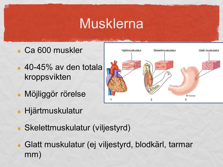 Musklerna Ca 600 muskler 40-45% av den totala kroppsvikten Möjliggör rörelse Hjärtmuskulatur Skelettmuskulatur (viljestyrd) Glatt muskulatur (ej vilje