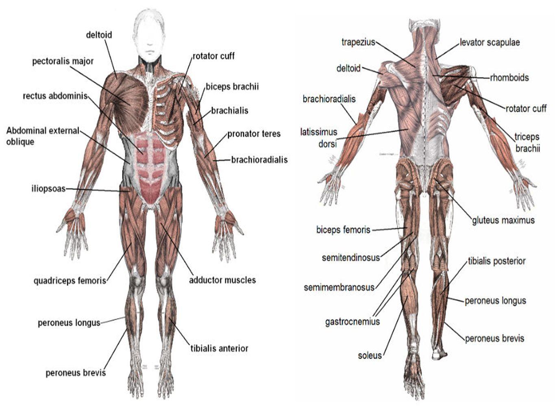 människokroppen fysiologi