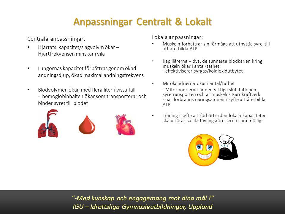 Anpassningar Centralt & Lokalt Centrala anpassningar: • Hjärtats kapacitet/slagvolym ökar – Hjärtfrekvensen minskar i vila • Lungornas kapacitet förbä