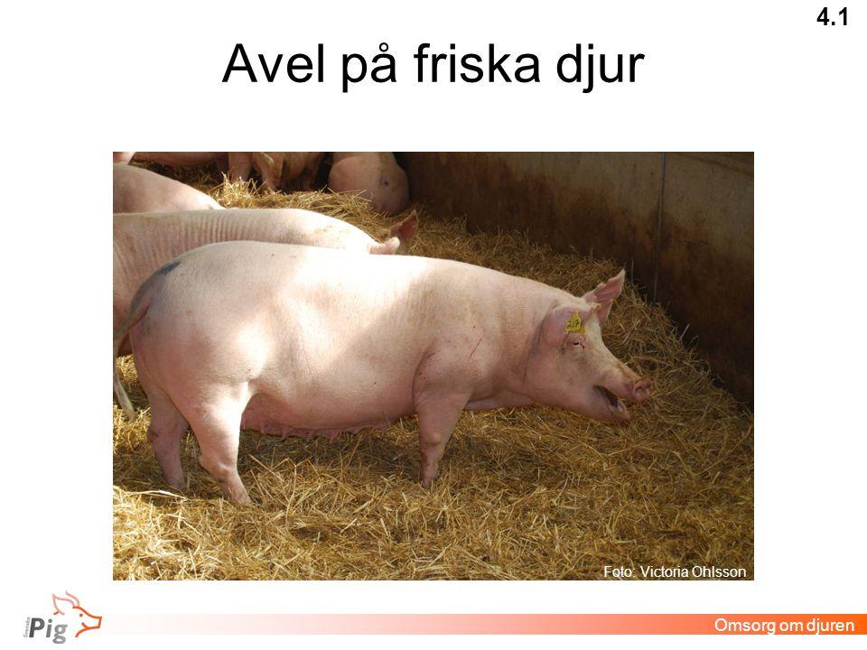 Avel på friska djur 4.1 Omsorg om djuren Foto: Victoria Ohlsson