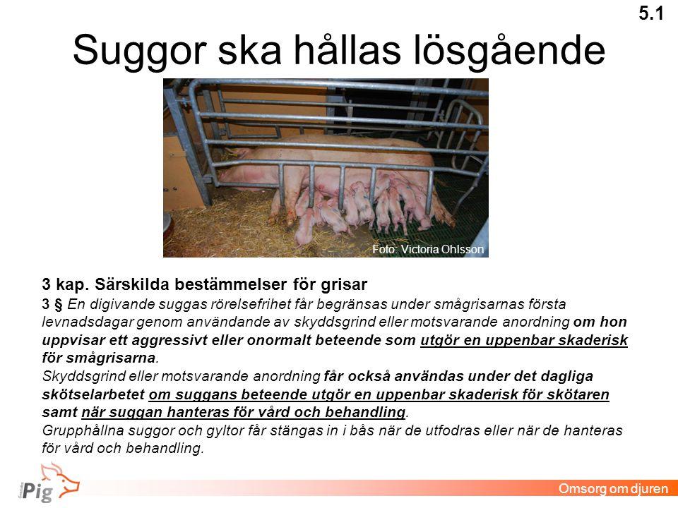 Suggor ska hållas lösgående 5.1 Omsorg om djuren 3 kap.