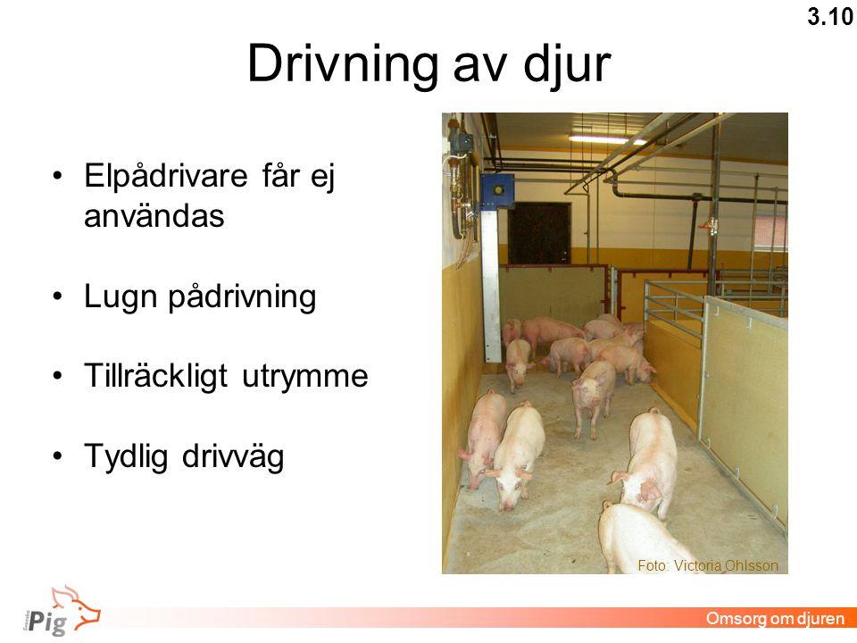 Drivning av djur •Elpådrivare får ej användas •Lugn pådrivning •Tillräckligt utrymme •Tydlig drivväg 3.10 Omsorg om djuren Foto: Victoria Ohlsson