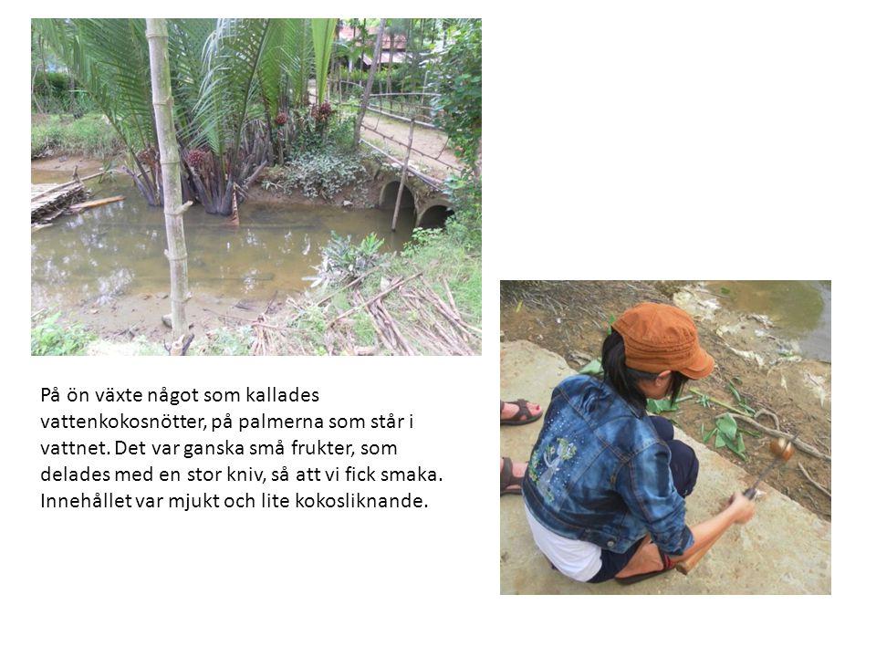 På ön växte något som kallades vattenkokosnötter, på palmerna som står i vattnet. Det var ganska små frukter, som delades med en stor kniv, så att vi