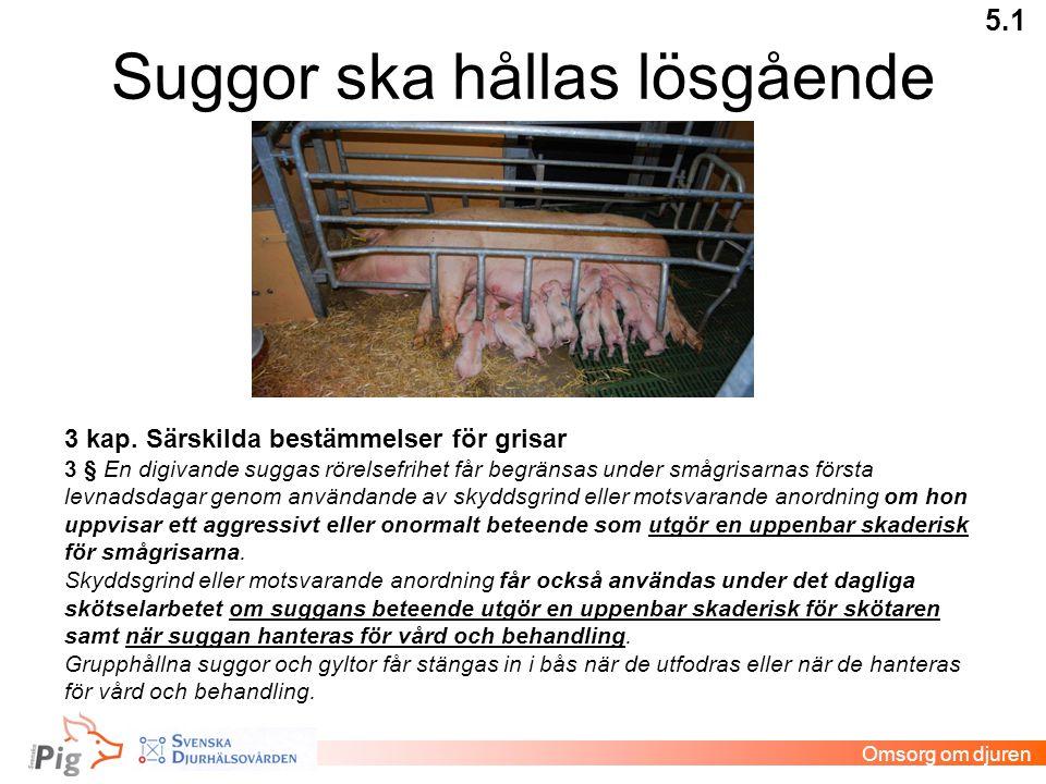 Suggor ska hållas lösgående 5.1 Omsorg om djuren 3 kap. Särskilda bestämmelser för grisar 3 § En digivande suggas rörelsefrihet får begränsas under sm