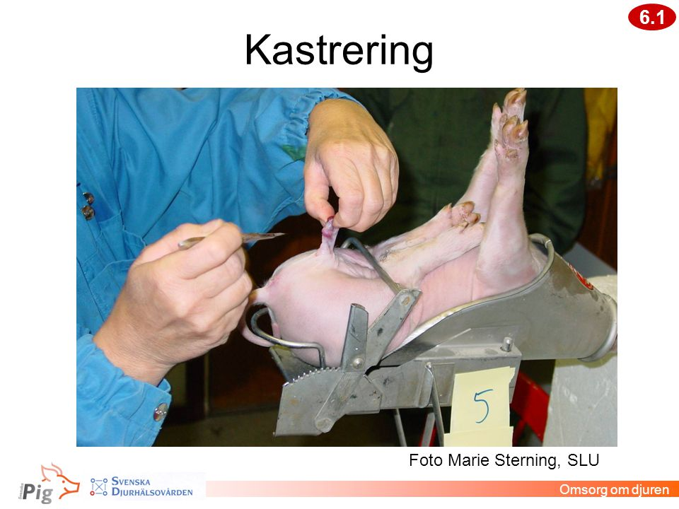 Kastrering Omsorg om djuren 6.1 Foto Marie Sterning, SLU