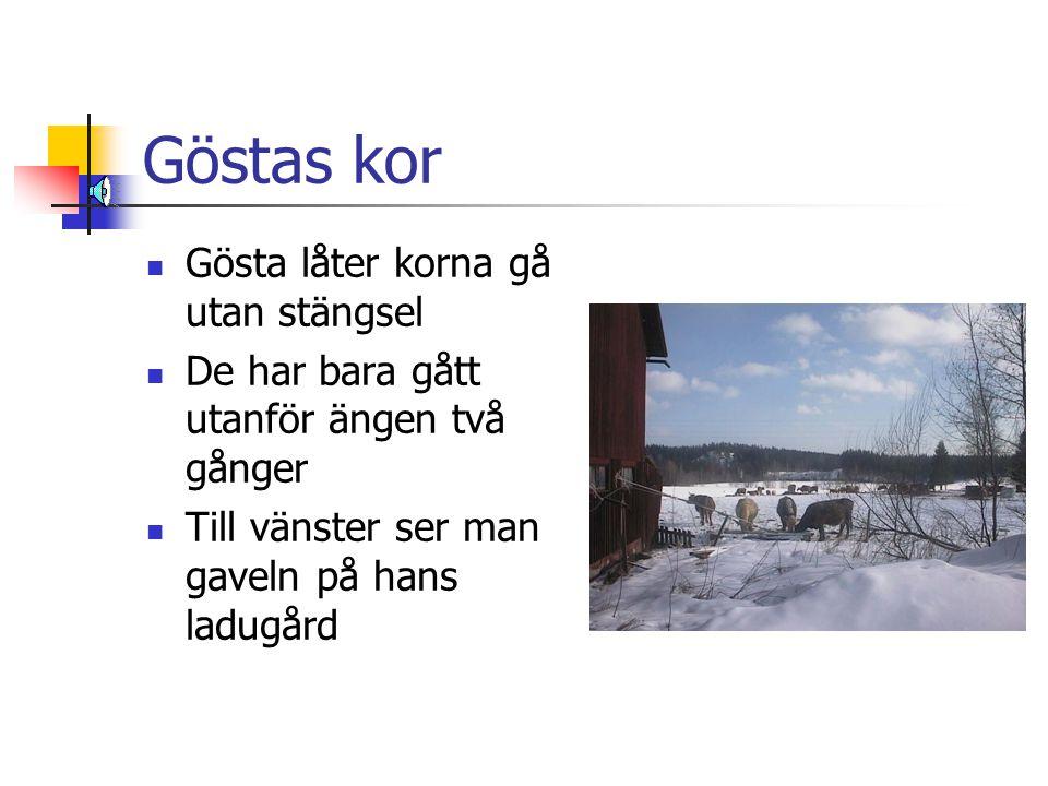 Göstas kor  Gösta låter korna gå utan stängsel  De har bara gått utanför ängen två gånger  Till vänster ser man gaveln på hans ladugård