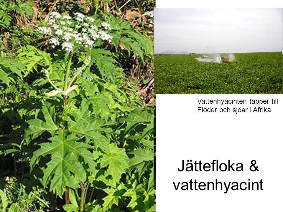 Jättefloka & vattenhyacint Vattenhyacinten täpper till Floder och sjöar i Afrika